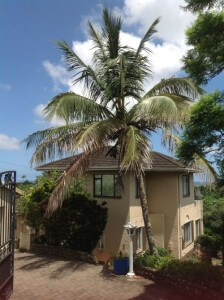 Coconut palm in January 2014